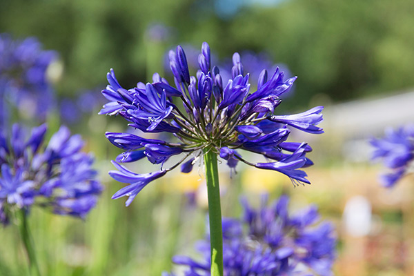 July – Agapanthus campanulatus Navy Blue