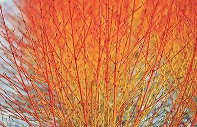 Cornus sanguineum 'Midwinter Fire'