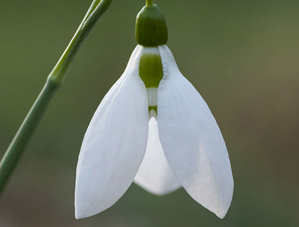 January – Galanthus elwesii