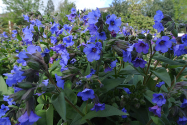 March – Pulmonaria Blue Ensign