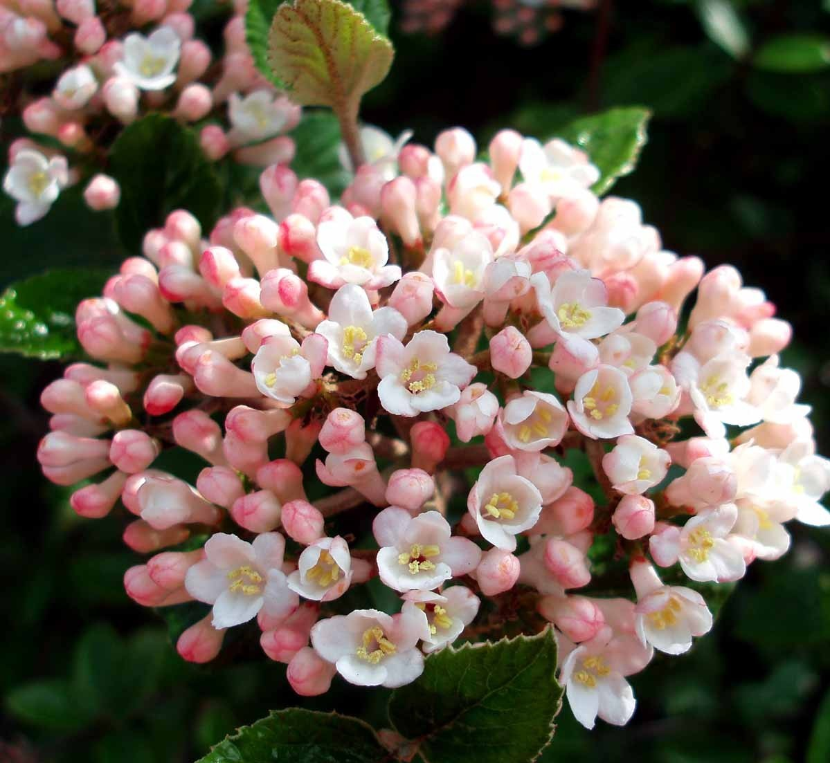 April – Viburnum burkwoodii Anne Russell