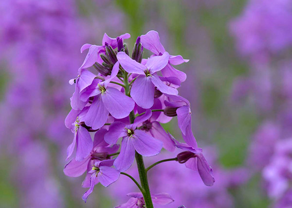 May – Hesperis matronalis