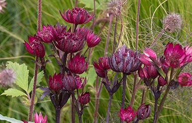 June – Astrantia major Ruby Star
