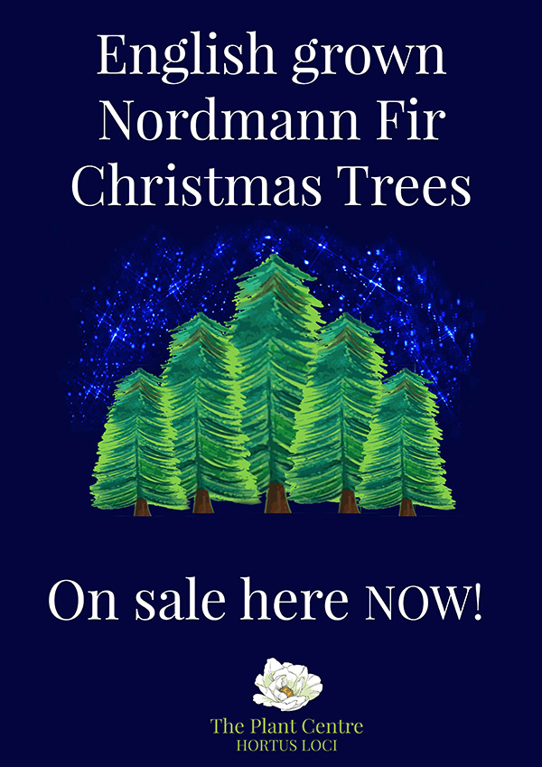 English grown Nordmann Fir Christmas Trees on sale here now