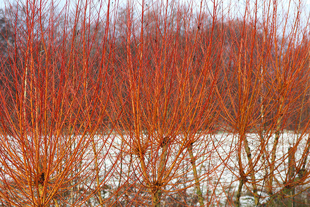 January – Salix alba Britzensis